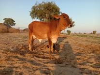 राठी गाय