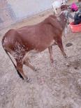 दूध देने वाली राठी नस्ल की गाय