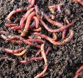 कैंचुआ (Earthworms)